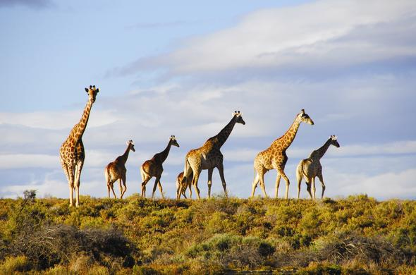 See Giraffes on an Aquila Wildlife Safari near Cape Town.