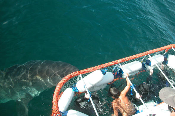 Shark Cage Diving in Cape Town.