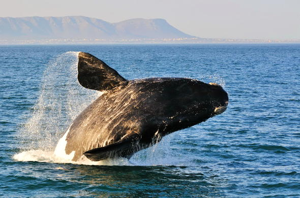 Hermanus whale watching day tour from Cape Town.